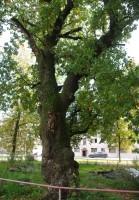 Новгородские деревья-патриархи попали во всероссийский реестр деревьев-памятников