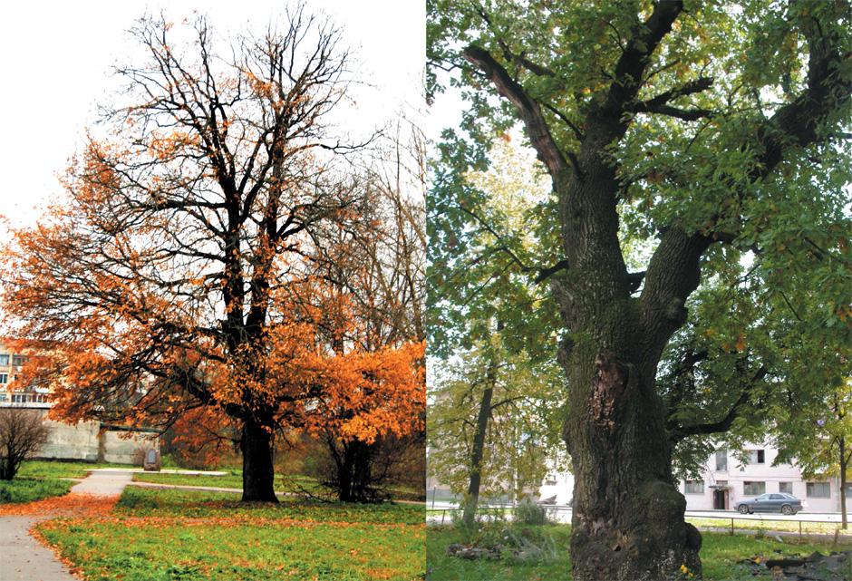 Вековые деревья, или деревья-патриархи