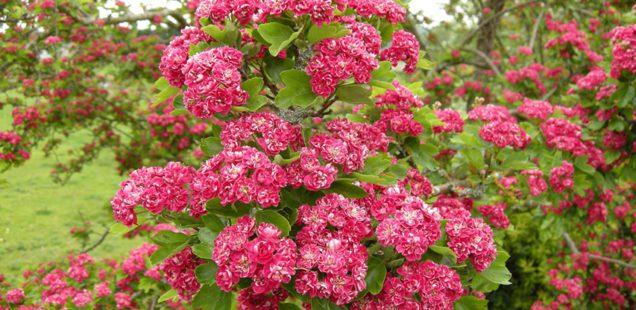 В Веряжском сквере заложен цветущий сад